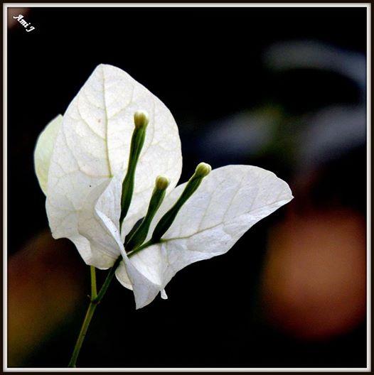 White flower poem by ami joshi poem hunter white flower poem by ami joshi mightylinksfo
