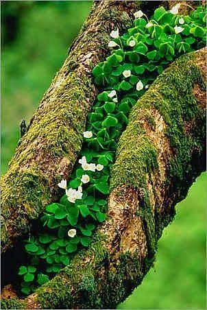 The Shamrock Tree