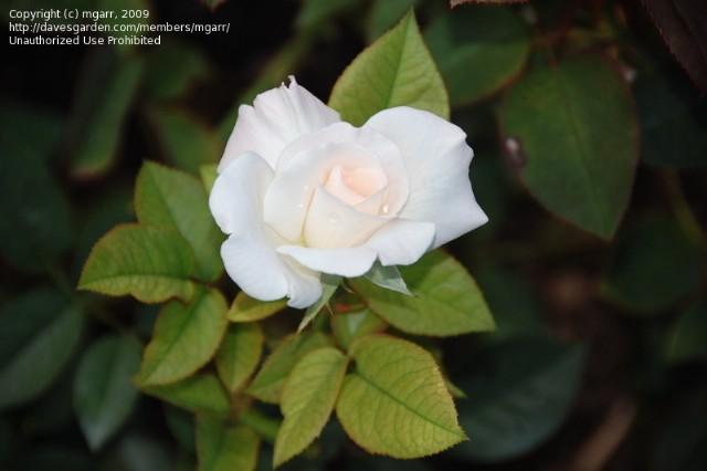 Rose My Friend