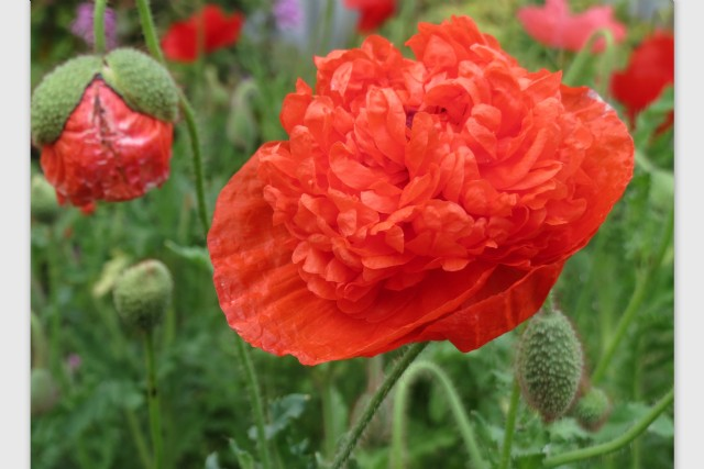 Poppy thoughts poem by douglas scotney poem hunter poppy thoughts poem by douglas scotney mightylinksfo
