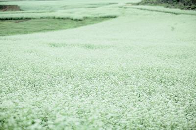Buckwheat Flowers Blooming 荞麦花开