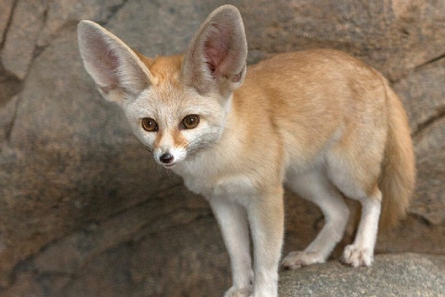 Square Poems 24 Fennec Acrostic Poem By Kim Barney Poem