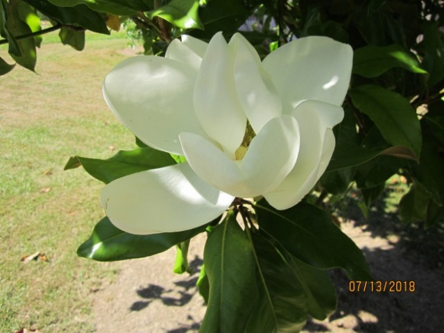 A Lovely Magnolia Poem By Marilyn Lott Poem Hunter Comments