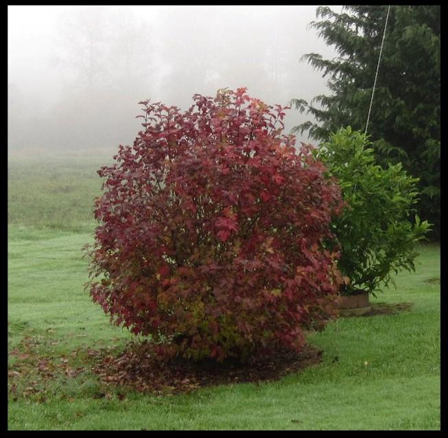 Autumn Snowball Tree