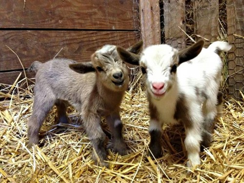 21 Cute Baby Goats To Make Your Morning Beautiful