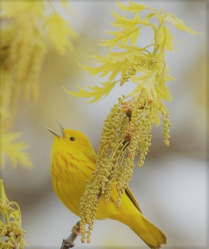 Bird Colours 4 - yellow Lemony Bird