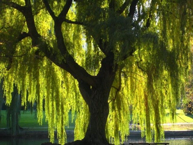 Take Me To The Willow Tree Poem By Richard D Remler Poem