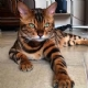 Cat Tiger